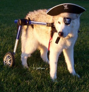 Tristan the husky as a pirate for Halloween 2009