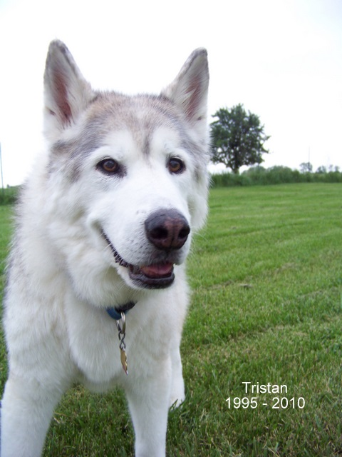 Tristan, a siberian husky from 24Paws.