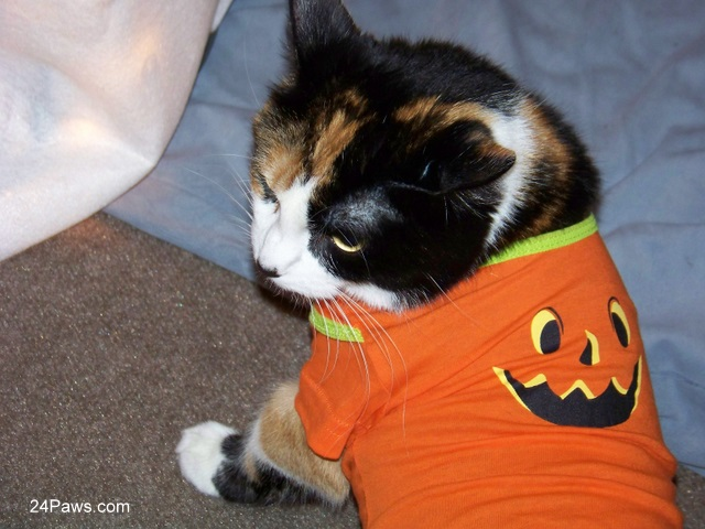 Calico cat Winni dressed for Halloween