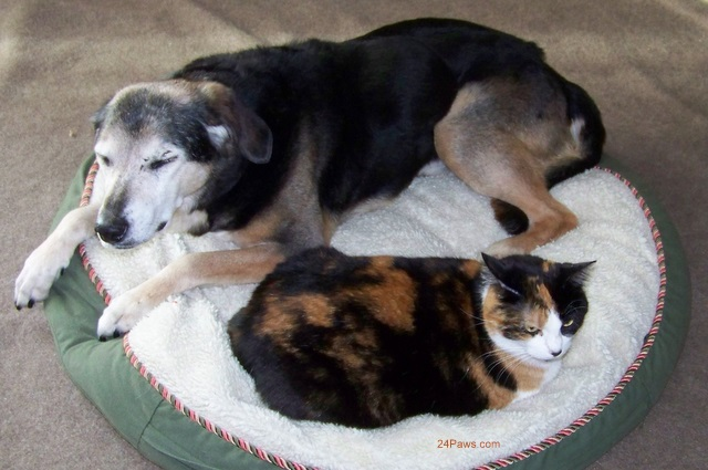 Calico cat Winni and Shepherd mix dog Grandbury