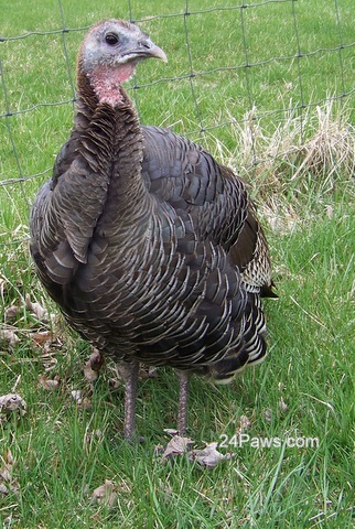 photo of a wild turkey from 24Paws.com
