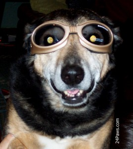 Grandbury of 24Paws, wearing Doggles