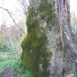 A big beautiful mossy tree on the banks of the French Broad River.