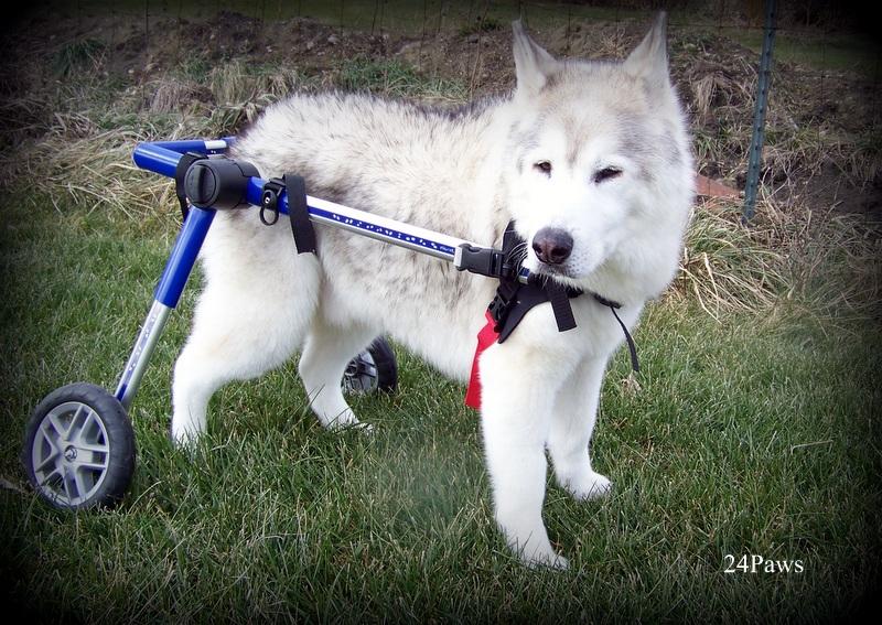 husky dog in wheelchair